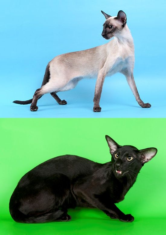 siamese and oriental cats
